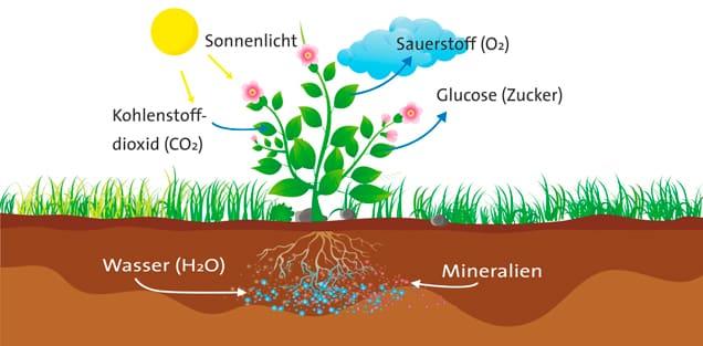 Хлоропласты выполняют функцию фотосинтеза