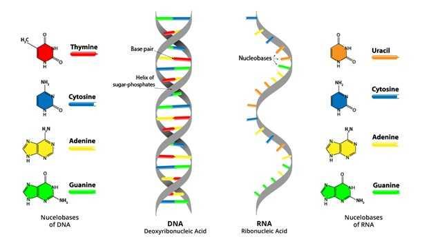 Виды, строение, функции и синтез молекулы РНК