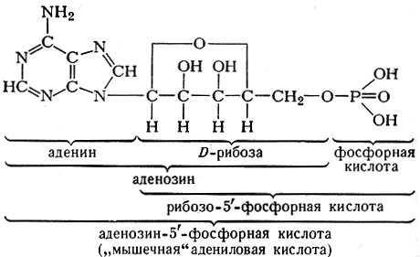Формула, строение и функции Адениловых кислот