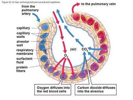 Строение альвеолы легких