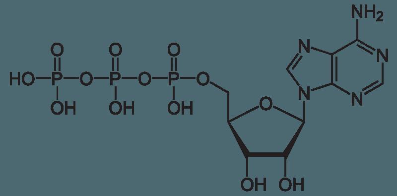 Сколько образуется АТФ при гликолизе и окислении 1 молекулы глюкозы?