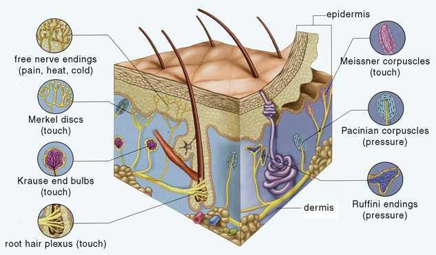 Центральные и периферические терморецепторы, их функции в организме человека